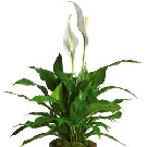 Spathiphyllum alb in ghiveci
